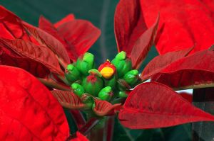 Poinsettia (Euphorbia pulcherrima) by André Karwath (Wikimedia Commons)